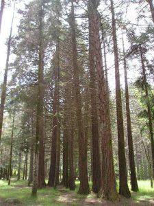 redwoods limbara mountain sardinia
