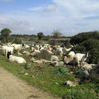 goats giara gesturi sardinia