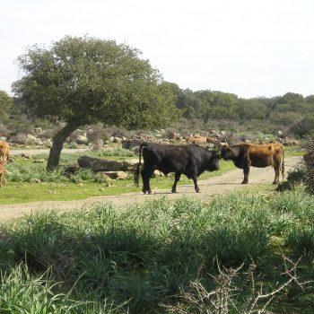 mucche giara di gesturi sardegna