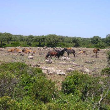 wild horses sa giara gesturi sardinia